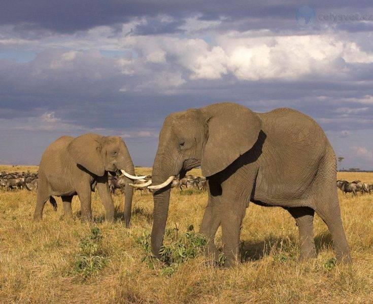 Рост африканского слона