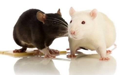 Корм для белой крысы фото