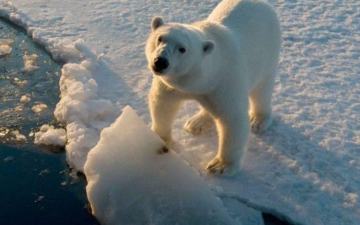 Белый медведь фото и описание