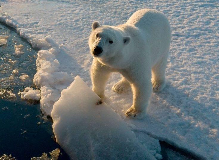 Чем питается белый медведь в арктике
