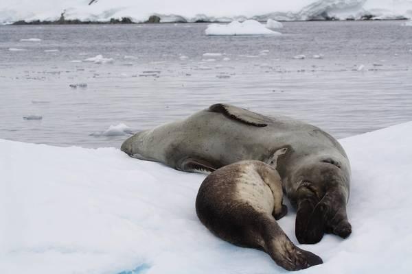 Чем питаются тюлени в арктике