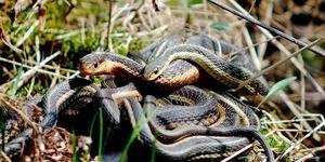 Как оплодотворяются змеи