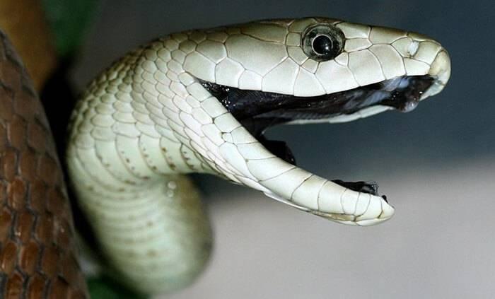 Аспид змея фото