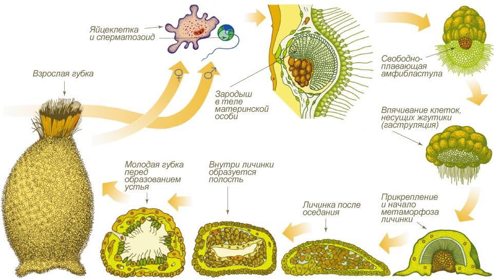 Строение губки биология 7 класс
