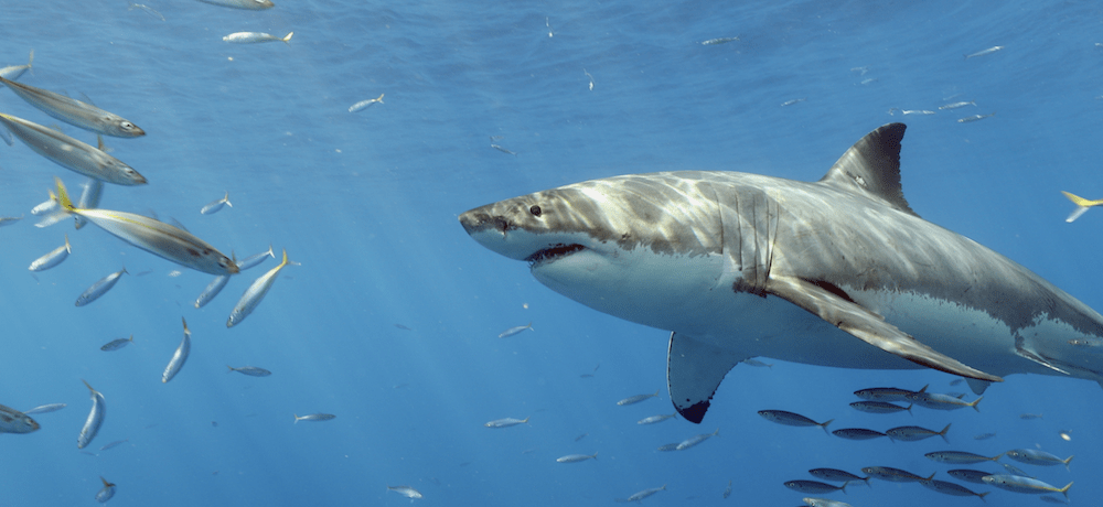 Сколько лет живет акула белая