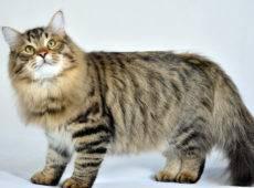 Порода больших кошек фото