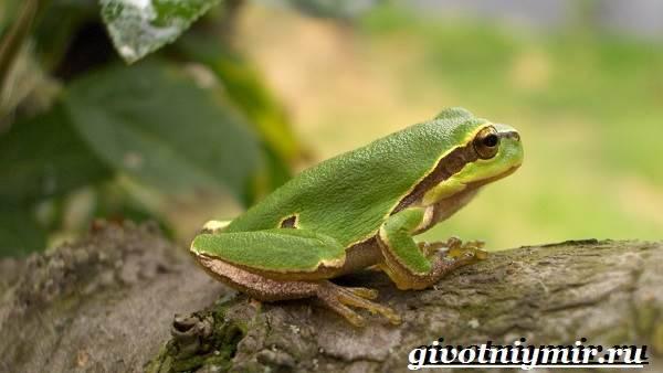 Древесные лягушки фото