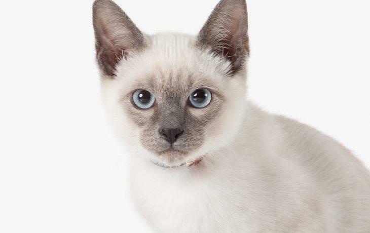 Тайская порода кошек характер