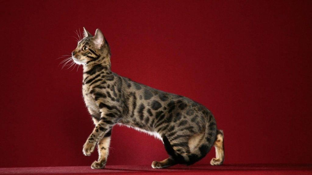 Кот с окраской леопарда