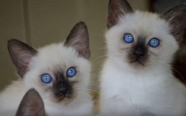 Балинезиец кот
