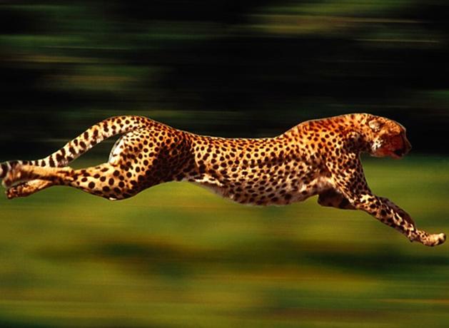 Скорость бега волка