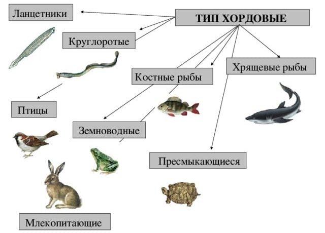 Хордовые рыбы