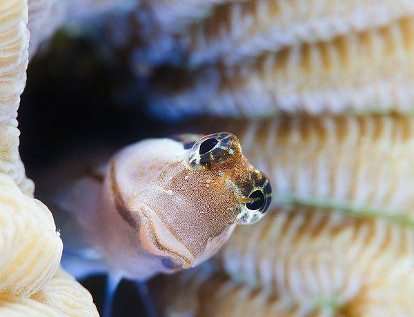 Житель кораллов