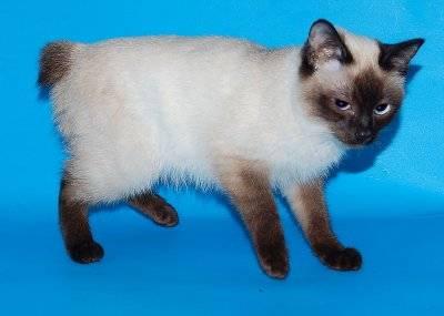 Маленькие породы кошек с фотографиями и названиями