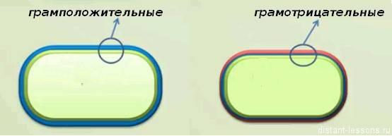Есть ли у бактерий клеточная стенка