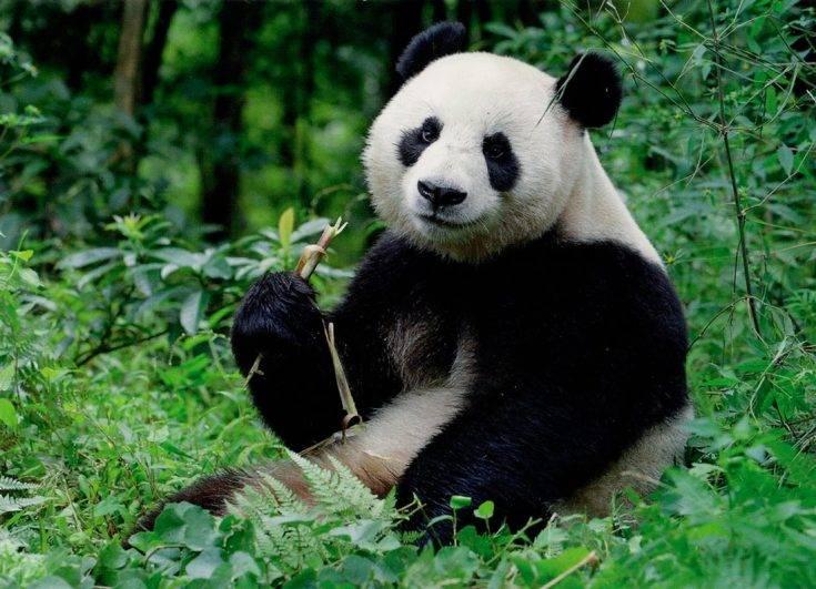 Лысая панда