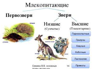 Чем отличаются высшие млекопитающие от сумчатых