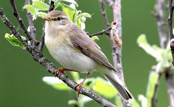 Виды перелетных птиц