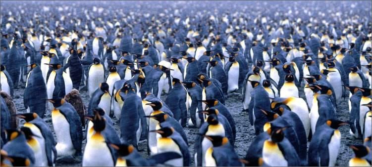 Пингвины обитают в арктике