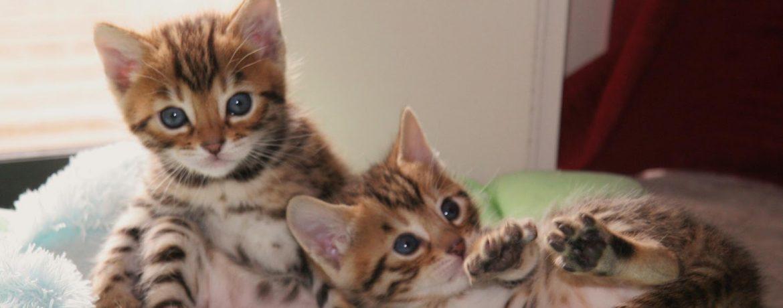 Кот леопардового окраса порода