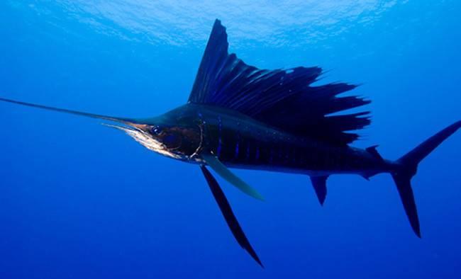 Скорость тунца в воде
