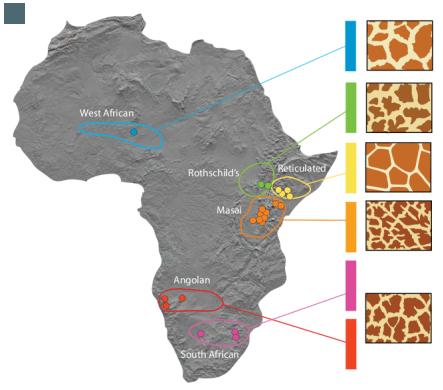 Где живет жираф материк