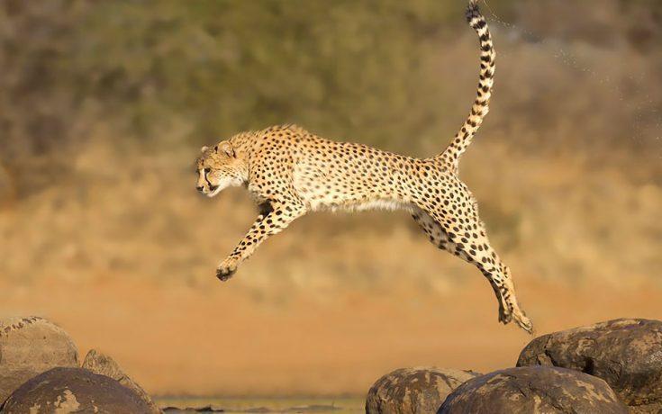 Информация о гепарде