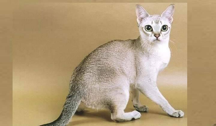 Самая мелкая порода кошек