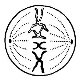 В какой фазе митоза происходит спирализация хромосом