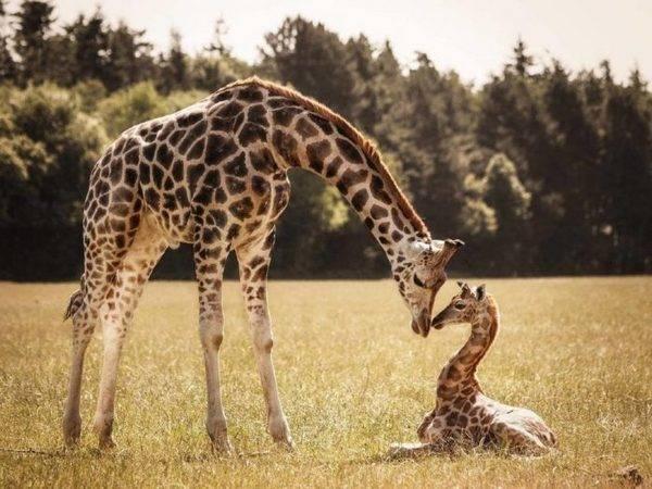 Где водятся жирафы