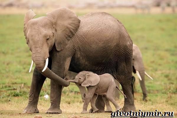 Строение слона