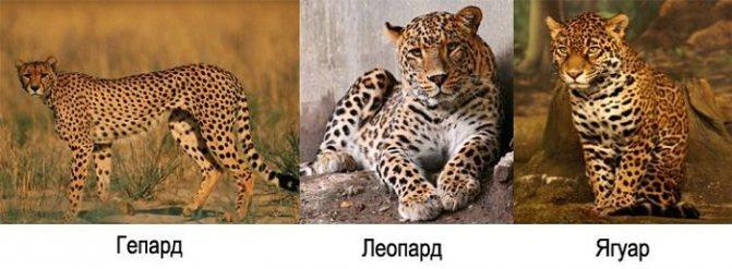 Вес леопарда в среднем
