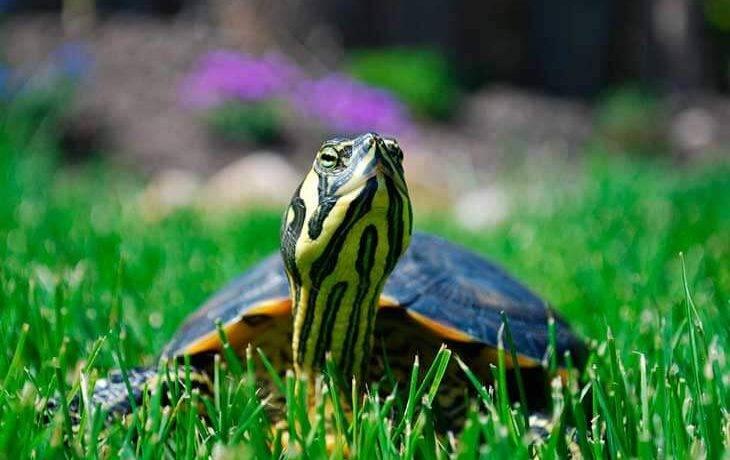 Срок жизни черепахи