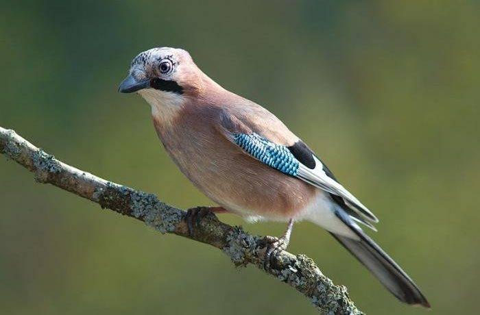 Осёдлые птицы это какие