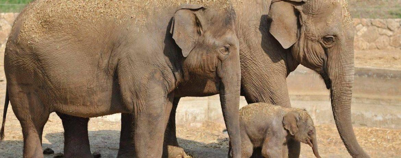 Слон млекопитающее или нет