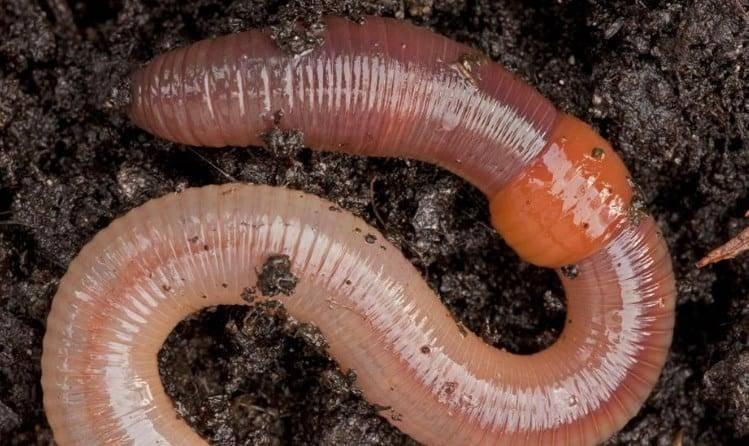 Кольчатые черви паразиты