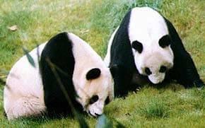 Размер панды