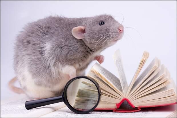 Виды декоративных крыс