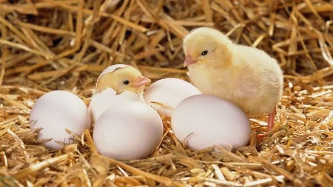 Что вперед появилось яйцо или курица