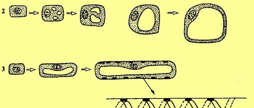 Клеточным циклом называется период