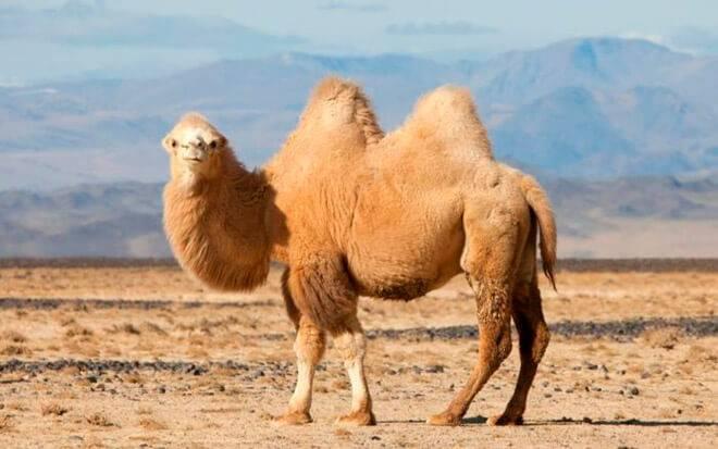 Все о верблюдах