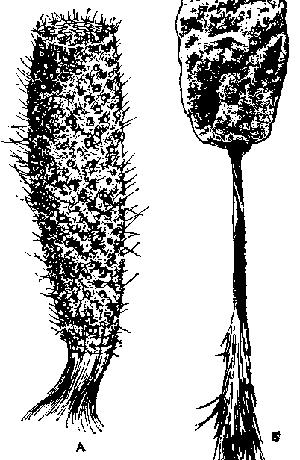 Спикулы губок