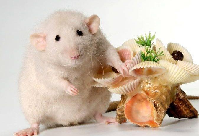 Крыса дамбо уход и содержание