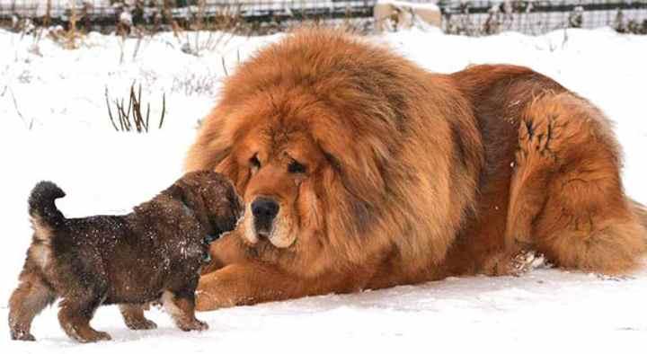Маленькие собачки похожие на медвежат