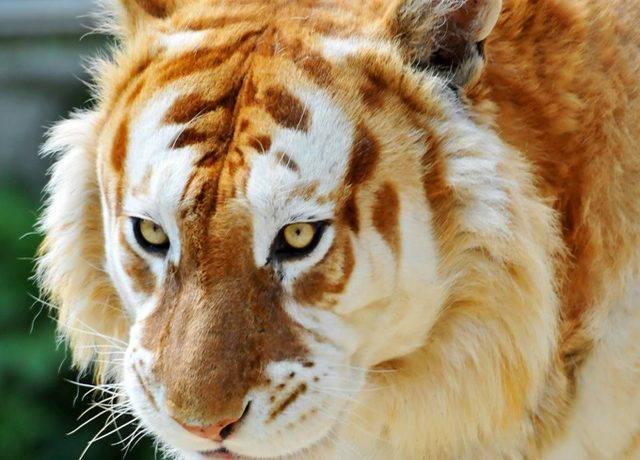 К какому отряду относится тигр