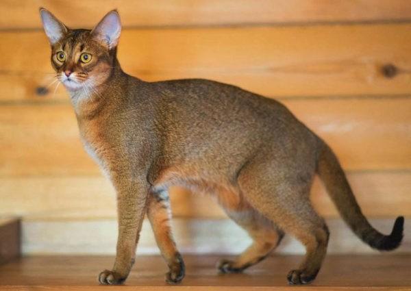 Новая порода кошек похожая на рысь