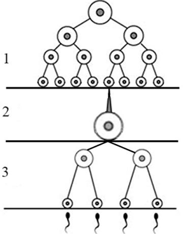 Половые клетки имеют набор хромосом