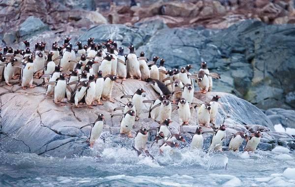 Пінгвіни фото