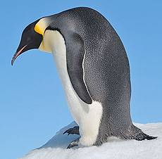 Сколько весит императорский пингвин