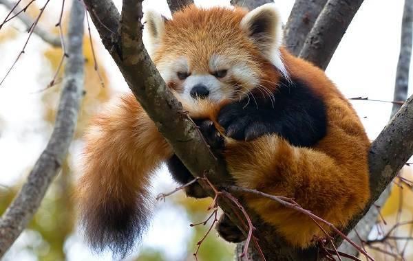 Где живет красная панда